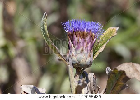 Closeup of a beautiful artichoke blossom in the field