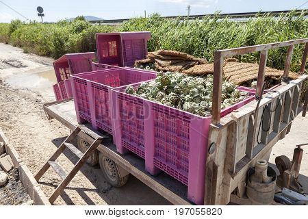Trailer with artichokes at a plantation in southern Spain