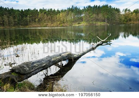 Pine tree cut by the beaver lies in the water. Spring landscape. Masuria Poland.