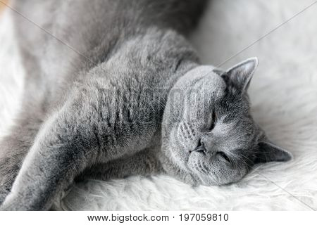 Young cute cat sleeping on cosy white fur. The British Shorthair pedigreed kitten with blue gray fur