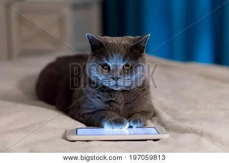 British Shorthair cat using tablet lying on bed. Funny intelligent pet concept