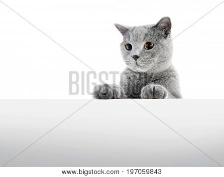 British Shorthair cat isolated on white. Sneaking, hunting, wide angle