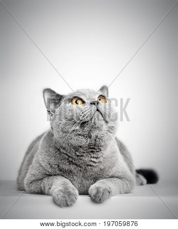 British Shorthair cat isolated on white. Looking above at copy-space