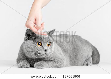 Human hand petting cat's head. British Shorthair on white
