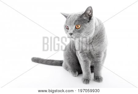 British Shorthair cat isolated on white. Sitting, wide angle