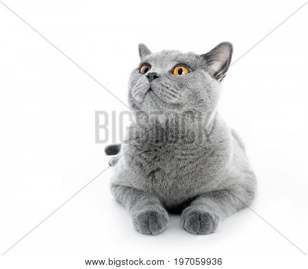 British Shorthair cat isolated on white. Lying, wide angle.