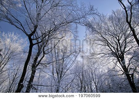 Tree with hoar frost near Engenhahn in the Taunus mountains Hesse Germany