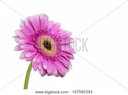 View of a single pink   Gerbera on a white Background.Gerber