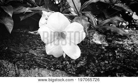 Noir Flower, a photo depicting a black and white scene of a flower barely hanging over a wall