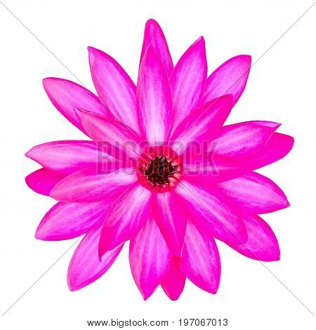 Pink blooming lotus flower isolated on white