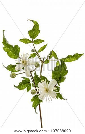 Flowers and leafs of Clematis lat. Clematis vitalba L. isolated on white background
