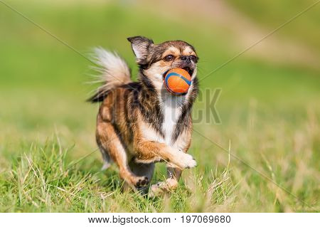 Chihuahua-pekinese Hybrid Runs On The Meadow