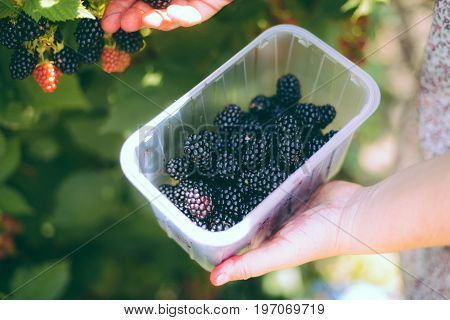 Hands Picking Blackberries During Main Harvest Season With Basket Full Of Blackberries. Ripe And Unr