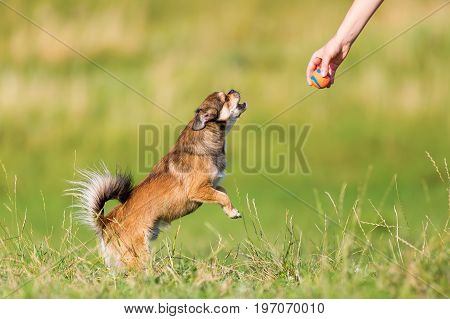 Chihuahua-pekinese Hybrid Jumps For A Ball