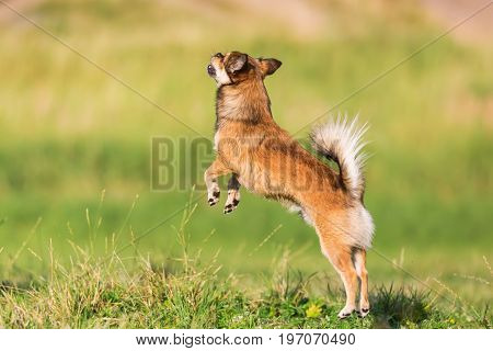 Chihuahua-pekinese Hybrid Jumps On The Meadow