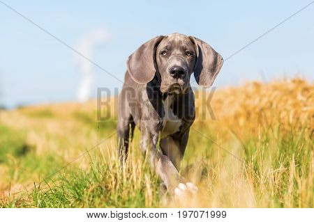 Great Dane Puppy Runs On A Country Path
