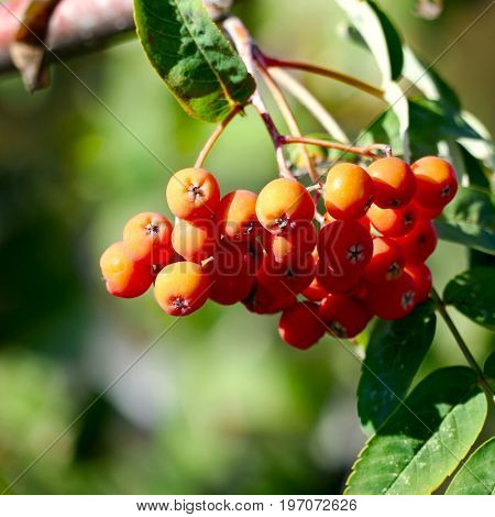 Rowan berries on blurry background.