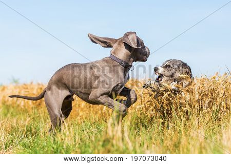 Great Dane Puppy And Australian Shepherd Playing Outdoors