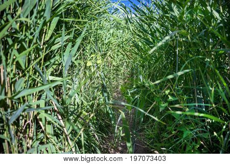 The path in the green reeds. Background of green reeds with bulrushes.