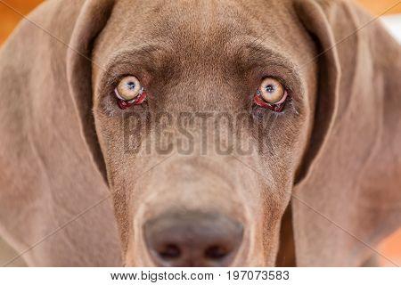 Portrait Picture Of A Great Dane Puppy