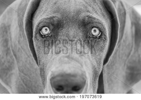 Black And White Picture Of A Great Dane Puppy