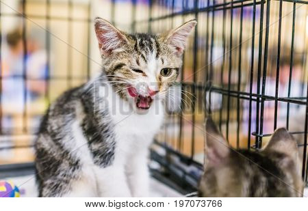 Portrait Of One Tabby Calico Kitten In Cage Waiting For Adoption Licking And Yawning With Tongue