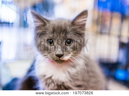 Portrait Of One Grey And White Russian Blue Tiny Kitten In Cage Waiting For Adoption