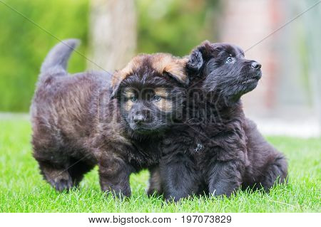 Two Old German Shepherd Puppies On The Lawn