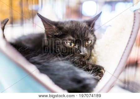 Portrait Of One Black Tiny Kitten's Face Lying In Hammock Sleeping Waiting For Adoption