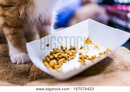 Macro Closeup Of Dry Cat Food In Paper Bowl By Orange Ginger Kitten Paw