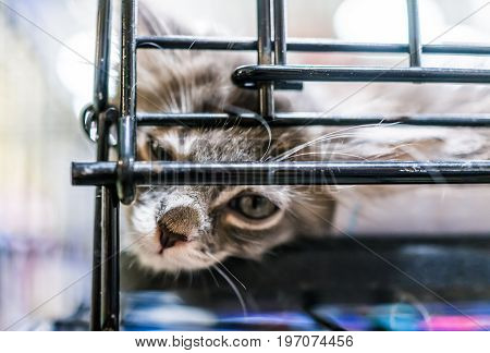 Portrait Of One Sad Grey And White Kitten Looking Through Cage Waiting For Adoption