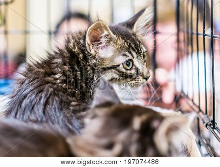 Portrait Of One Funny Fluffy Tabby Kitten In Cage With Sibling Waiting For Adoption