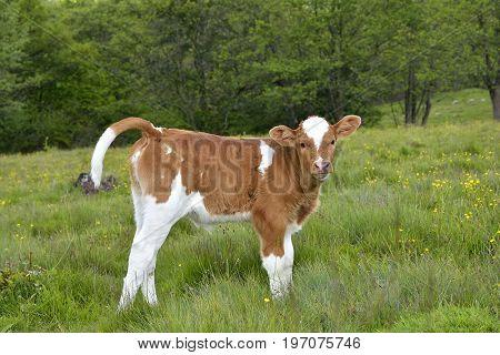 Beautiful little calf in green grass. A small calf grazes on a green meadow