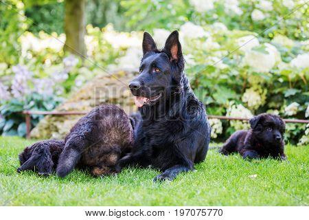 Old German Shepherd Mother With Her Puppies