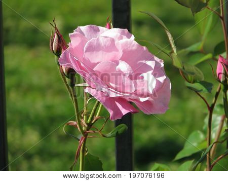 A PINK ROSE IN FULL BLOOM WITH A COUPLE OF BUDS ATTACHED TO THE STEM, WITH A GREEN BACK GROUND