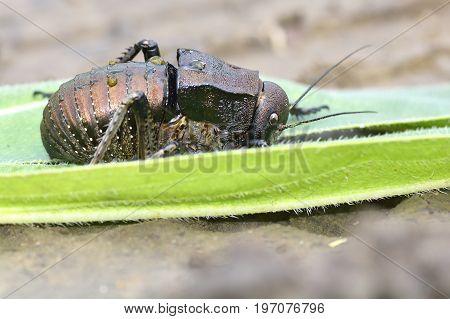 Bradyporus dasypus biggest cricket. black Bradyporus dasypus in his natural background