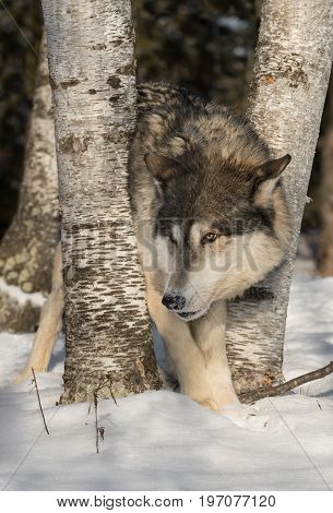 Grey Wolf (Canis lupus) Peers Left - captive animal
