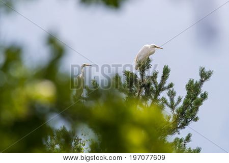 Couple Of Nice White Herons Perched On Pine Tree