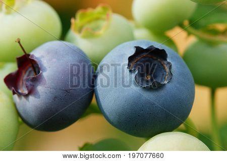 Blueberry (Vaccinium myrtillus), fruits of summer season
