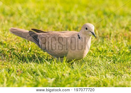 Nice Light Grey Turtledove Bird Perched On Lawn