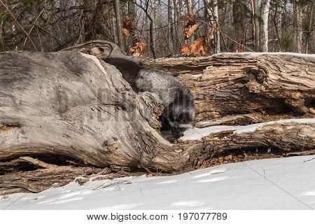 Silver Fox (Vulpes vulpes) Turns on Log - captive animal