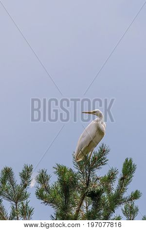 Nice Single White Heron Perched On Pine Tree