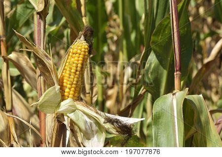 Corn Field. mature yellow cob of sweet corn on the field. Collect corn crop.