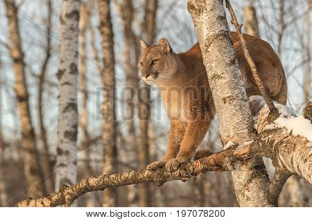 Adult Female Cougar (Puma concolor) Stares Out From Up in Tree - captive animal