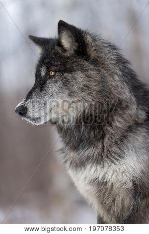 Black Phase Grey Wolf (Canis lupus) Profile Vertical - captive animal