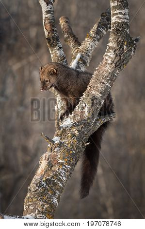 Fisher (Martes pennanti) Licks Nose in Tree - captive animal