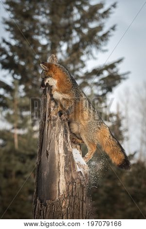 Grey Fox (Urocyon cinereoargenteus) Knocks Snow Off Tree - captive animal