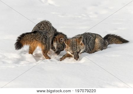 Grey Fox (Urocyon cinereoargenteus) Sniff in Snow - captive animals