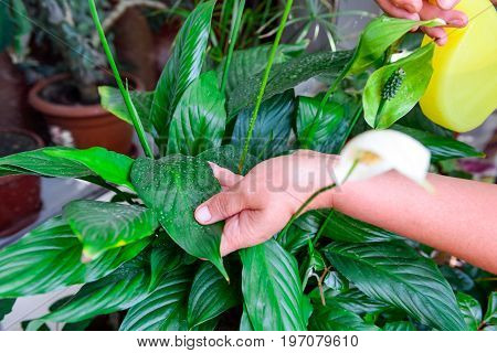Adult Female Hands Spraying Water On Indoor House Plant. Household Concept. Selective Focus