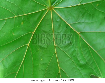 Maple Leaf Veins